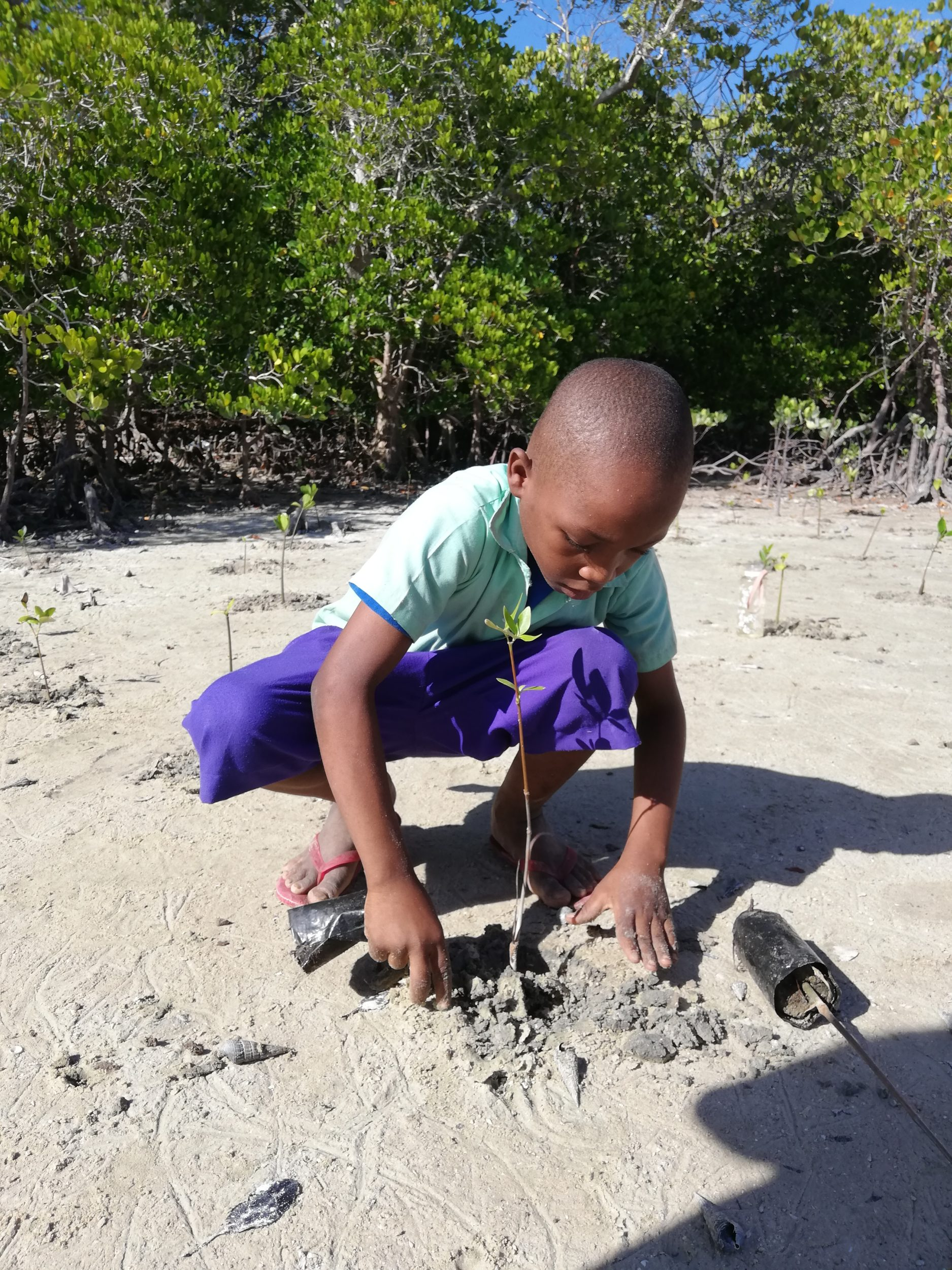 School child planting mangrove seedling
