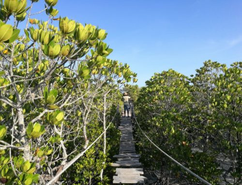 Mida Creek Mangroves – an Eco Visitor's Experience