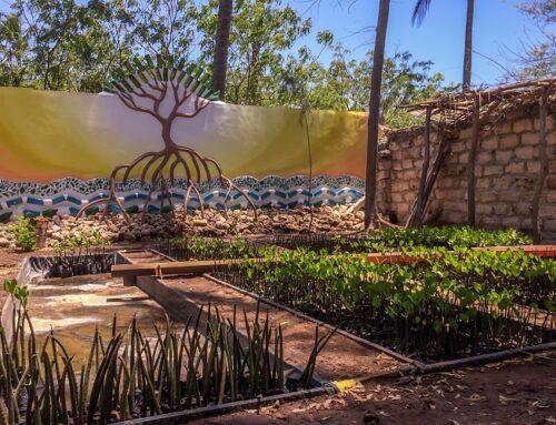 Mangrove rehabilitation: Magangani, Watamu